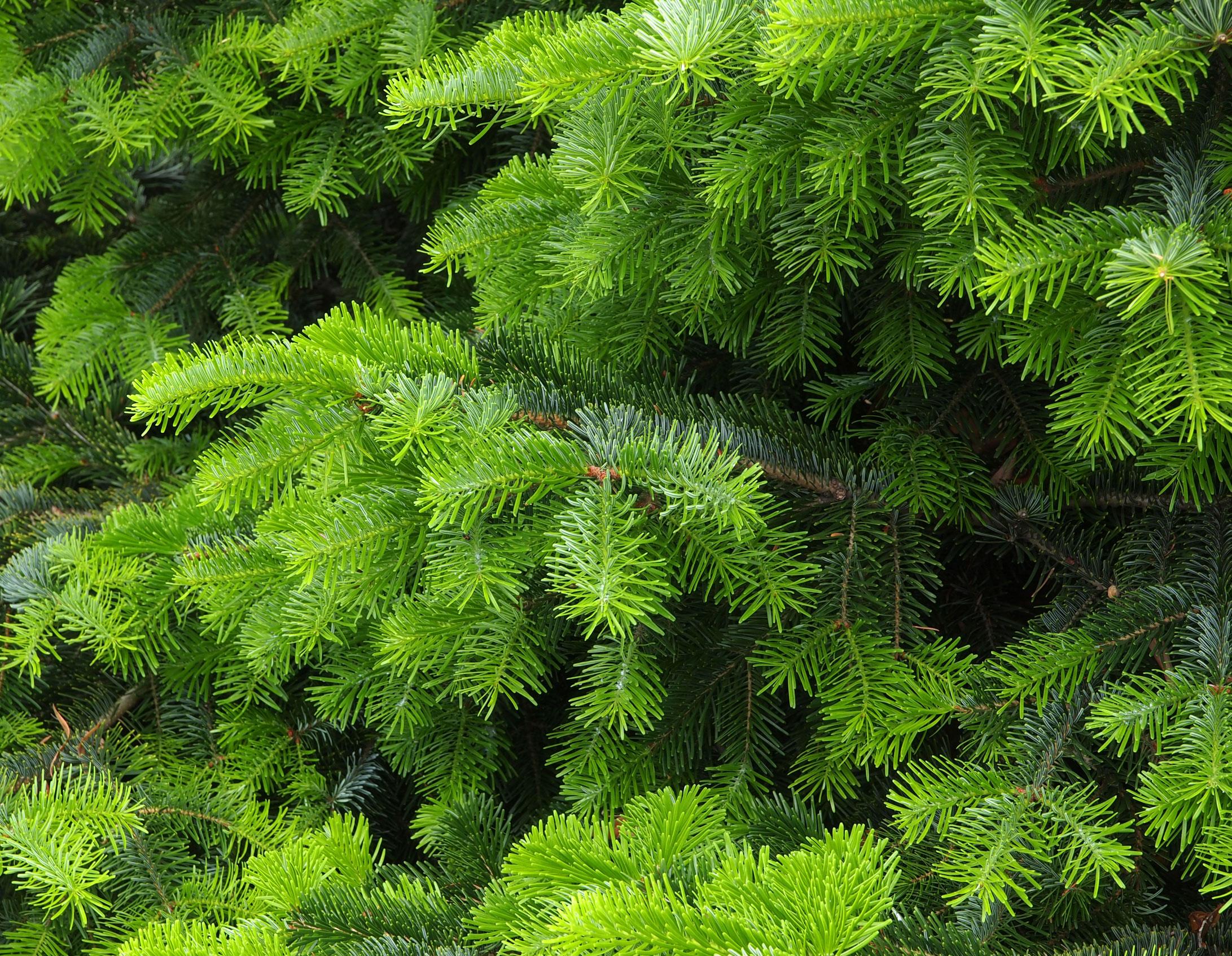 Weihnachtsbaum Kaufen Pforzheim.Bioweihnachtsbaum De Bio Weihnachtsbäume Aus ökologischem Landbau